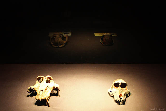 baldiri : hominids : baldiri100209
