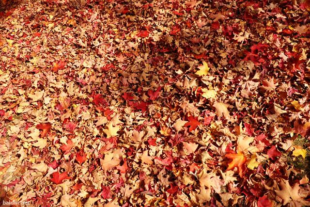 baldiri : red leaves